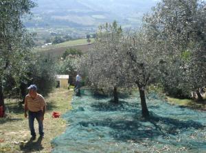 Unser Nachbarbauer Giacomo im steilen Olivenhang.